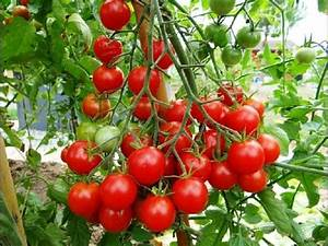Plant Tomate Cerise : volution de tomates cerises en pot youtube ~ Melissatoandfro.com Idées de Décoration
