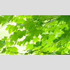 Bright Green Leaves Stock Footage Video 2701631 Shutterstock