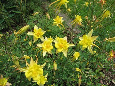 bodendecker gelb blühend pflanzen vielfalt der saatgut shop stauden samen beet