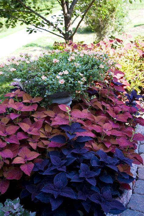coleus garden i see 5 different coleus in the bed coleus addict pinterest gardens and flowers