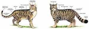 The Scottish Wildcat  Hybrid And True