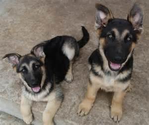 Rescue Dogs German Shepherd Puppies