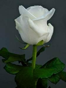 Fleur Rose Et Blanche : rose blanche fleur google s k rose blanche pinterest roses blanches pivoines roses et ~ Dallasstarsshop.com Idées de Décoration