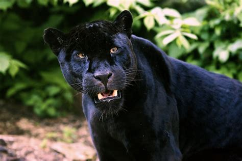 Black Jaguar by Black Jaguar Stuart Robertson Flickr