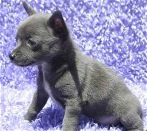 blue chihuahua dogs appearance  aspects