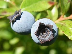 Wann Heidelbeeren Pflanzen : heidelbeere pflanzen ~ Orissabook.com Haus und Dekorationen
