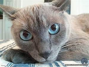 Blue Point Siamese Cats - Siamese Cat Spot