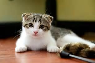 fold cat scottish fold cats dawg
