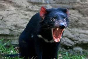 Tasmanian Devils Fight Back Against Contagious Cancer ...