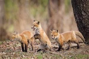 Wildlife in suburbia: Photographer watches fox kits grow ...