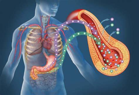 insulin  glucagon health regulation  issues