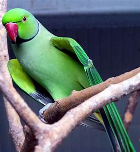 Information About the Gentle and Loyal Indian Ringneck ...