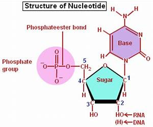 Nucleic Acids- a nucleotide, a monomer of a nucleic acid ...