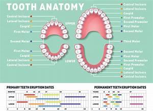 How Many Teeth Do Humans Have  Kids V Adult Teeth