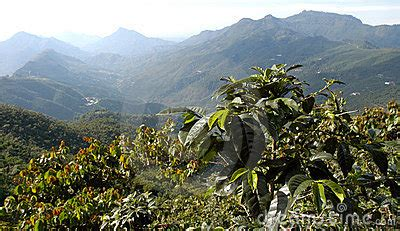 By 1880, coffee accounted for 90% of guatemala's exports2. Coffee Plantation Guatemala 12 Royalty Free Stock Image - Image: 5374656