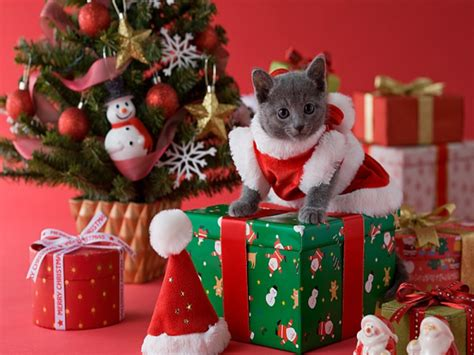 funny image collection christmas cat christmas