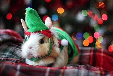 epically cute guinea pig costumes  win halloween