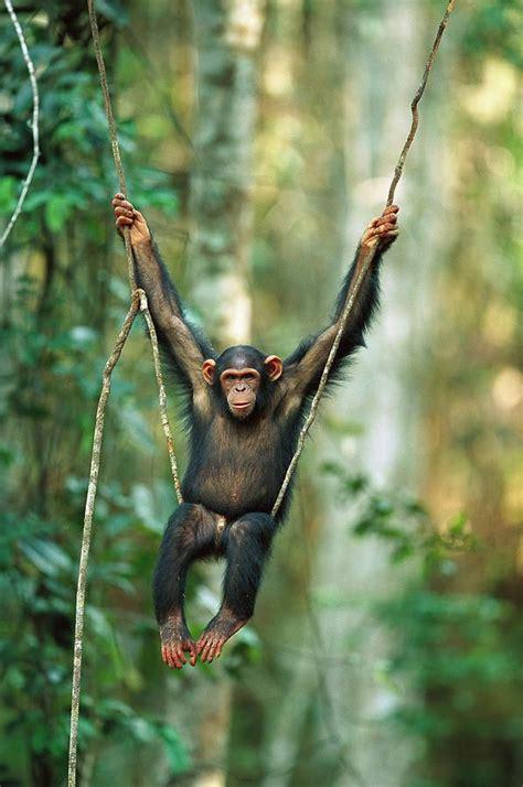 chimpanzee pan troglodytes juvenile animals animals