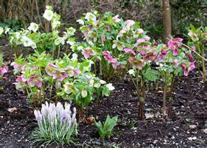Carpet Plants by Hellebore Heaven The Frustrated Gardener