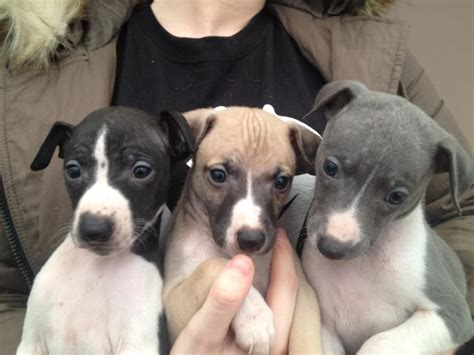 whippet puppies  adoption offer