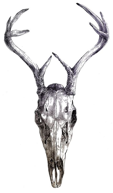 Best Images About Deer Antlers Pinterest