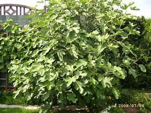 Feigenbaum Im Garten : schnitt f r feigenbaum im garten mein sch ner garten forum ~ Orissabook.com Haus und Dekorationen