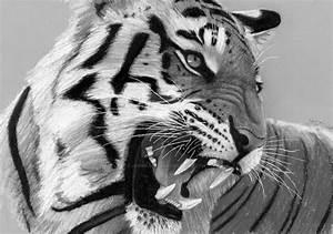 Drawn white tiger roar - Pencil and in color drawn white ...