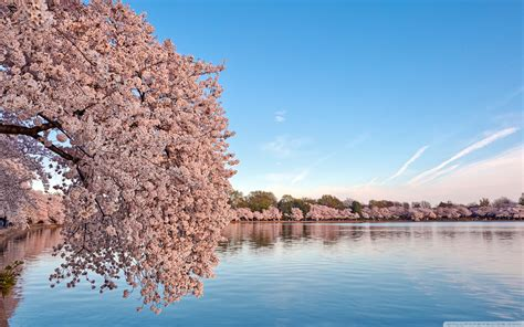 washington dc cherry blossom ultra hd desktop background
