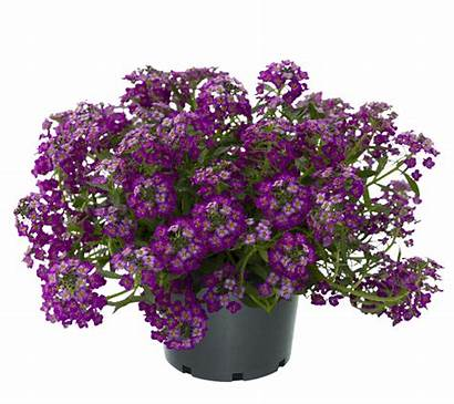 Lobularia Breezy Easy Purple