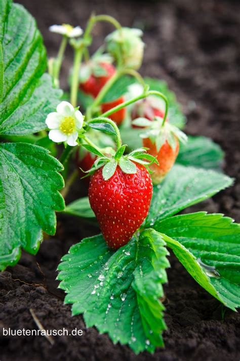 erdbeeren remontierende sorten erdbeeren richtig anbauen und ernten tipps zur pflege
