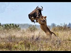 Lion Attack Compilation | 2014 HD - YouTube