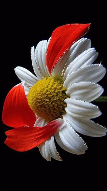 Flower Animation Decent Flowers Falling Petals Scraps