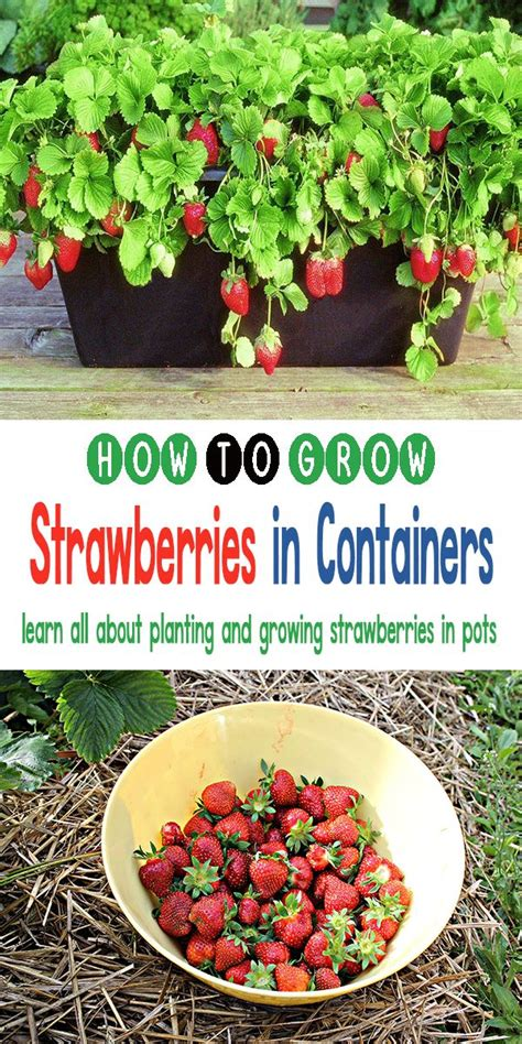 25+ Best Ideas About Growing Strawberries In Containers On