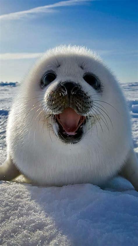 psbattle baby seal  mouth open photoshopbattles