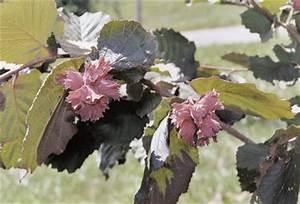Rote Haselnuss Kaufen : haseln sse h berli fruchtpflanzen ag neukirch egnach ~ Michelbontemps.com Haus und Dekorationen