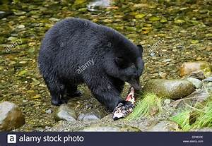 Black Bear (Ursus americanus) eating salmon, Thornton Fish ...