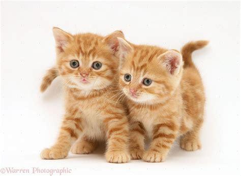 Ginger Kitten Wanted Rochester Kent Pets4homes