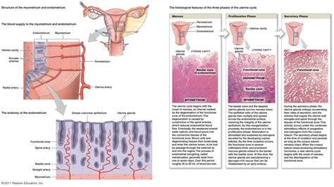 uterine wall shedding pregnancy the reproductive system