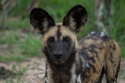 afrikansk villhund wildlife vagabond