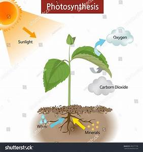 Diagram Showing How Photosynthesis Works On Stock Vector