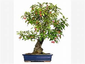 Bonsai Pflege Für Anfänger : bonsai pflanzen pflege und tipps mein sch ner garten ~ Frokenaadalensverden.com Haus und Dekorationen
