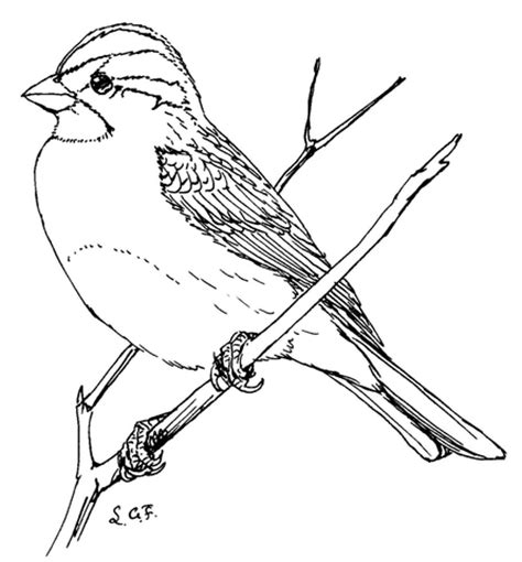 white throated sparrow coloring page  printable