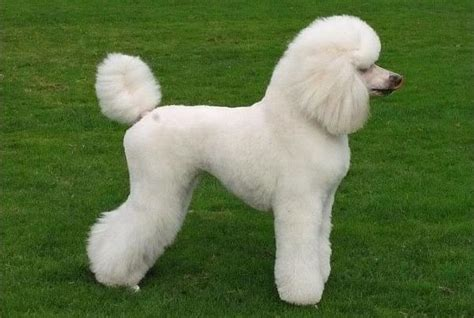 10 Haircuts For Poodles