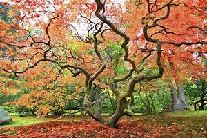 Why the Japanese maple is a must-have for any foliage ...  Maple