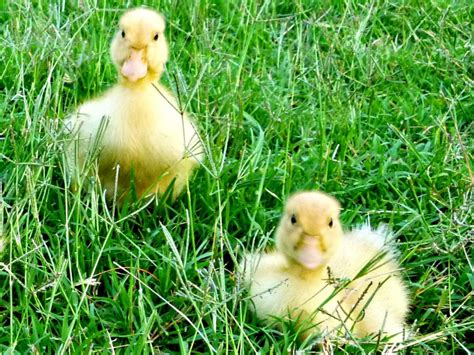 heat l for ducklings raising ducks how to care for ducklings hgtv