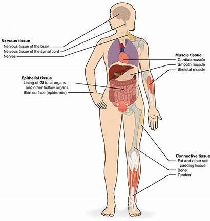 Systems Human Homeostasis Organs Tissues Organ Definition