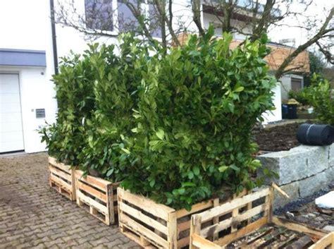Pflanzzeit Kirschlorbeer Hecke by Kirschlorbeer Hecke F 252 R Garten 30 St 252 Ck In Frickenhausen