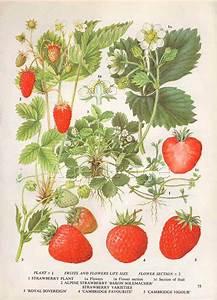 Vintage Botanical Print Food Plant Chart Art By Agedpage