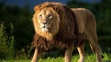 Lion Pictures Hd High Quality