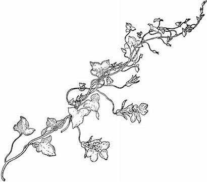 Vine Coloring Snapdragon Vines Drawing Pages Flower